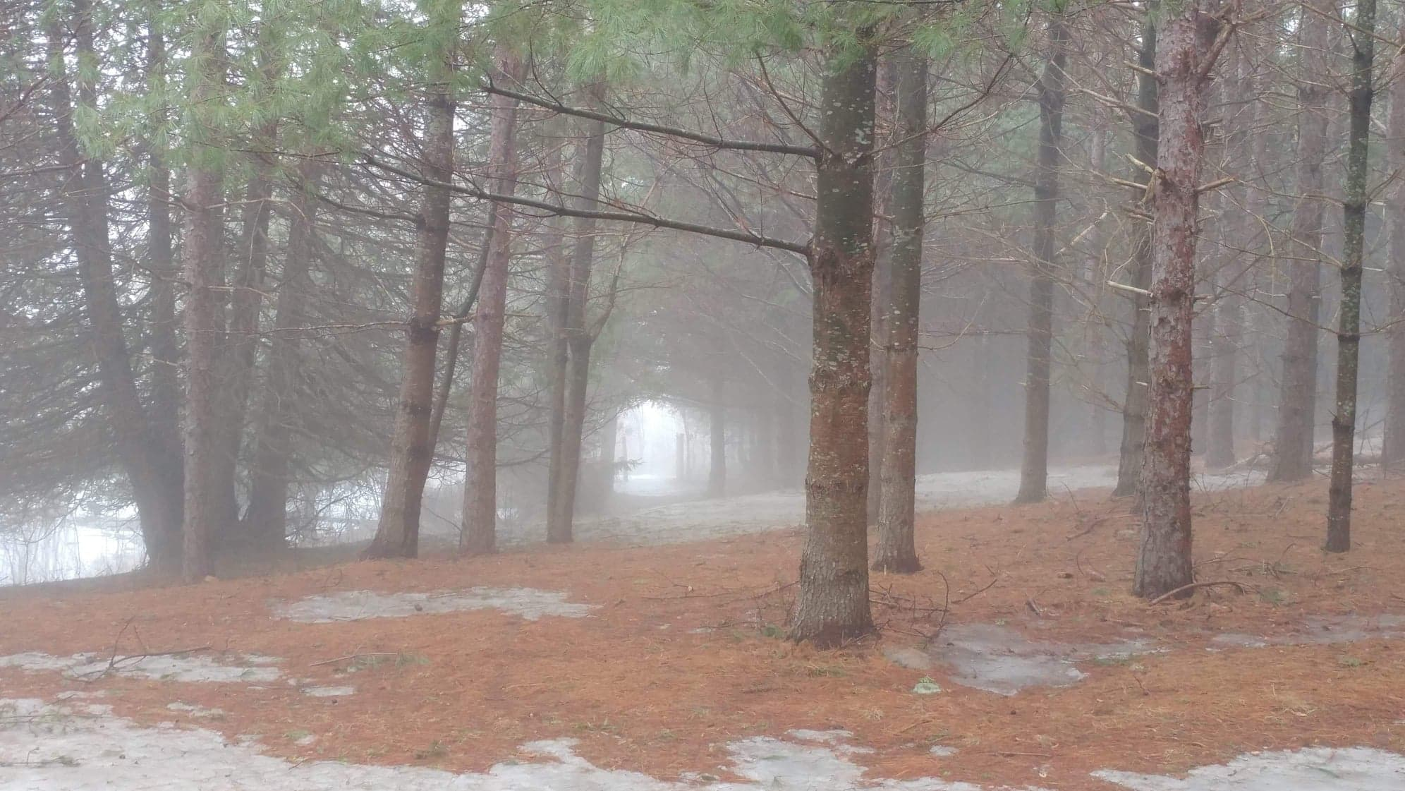 Coniferous trees with mist around them. Dry pine needles and patches of snow on the ground.