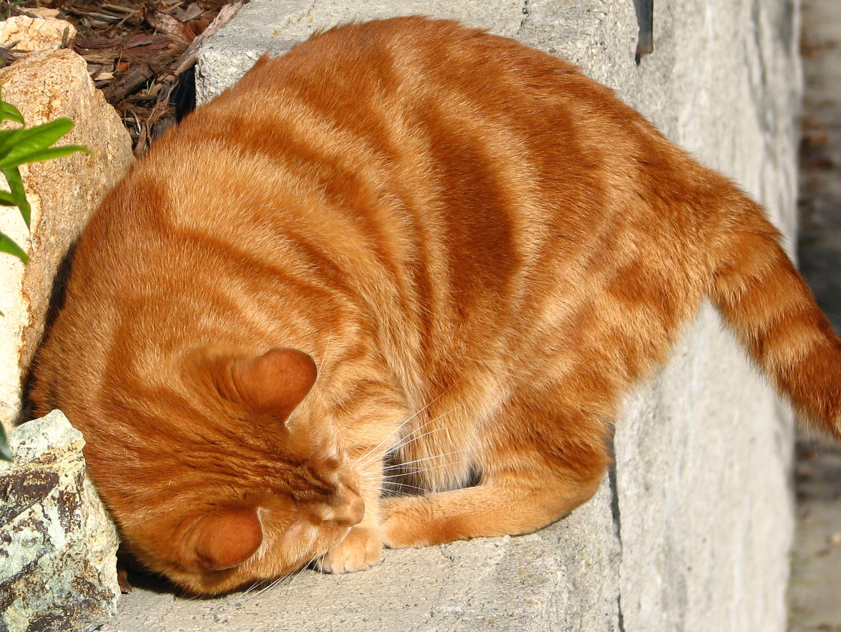 Ginger tabby curled up on a rock outside, sleeping.