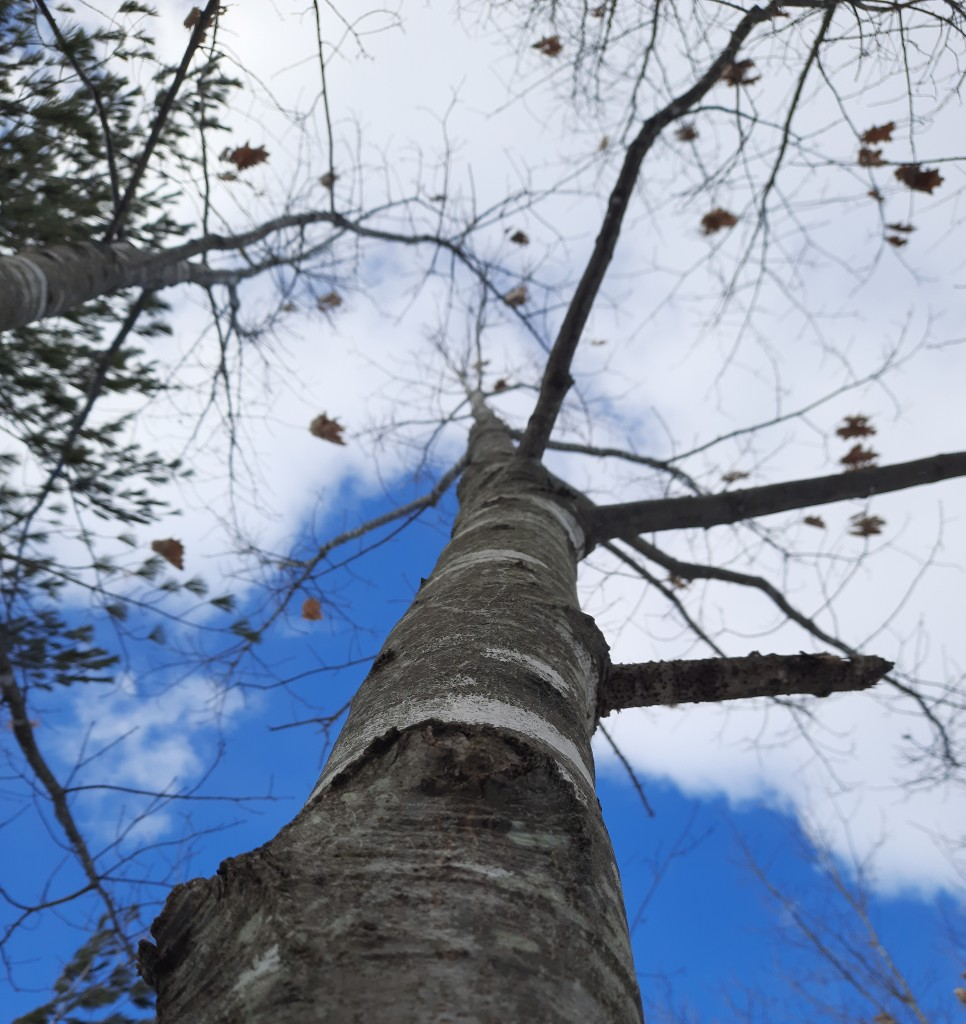 Photo of a tree trunk shot from below going up into a blue and cloudy sky. Branches are naked except for a few leaves. Branches from a coniferous tree are visible in the top left corner.