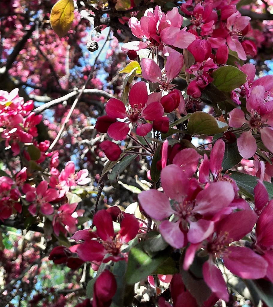 Close-up photo of pink flowers and green leaves on branches of a tree.