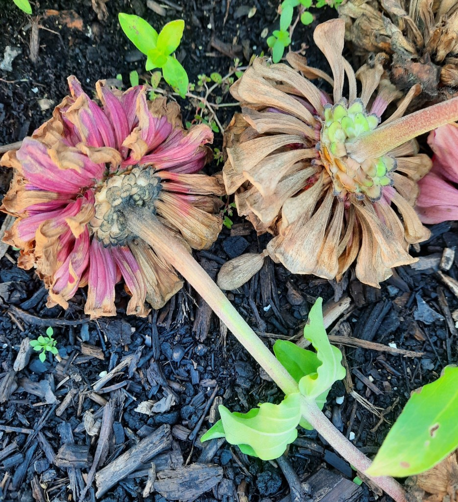 Close-up photo of two dead flowers lying facedown in the dirt, with some sticks, bark, and a few little green plants around them.
